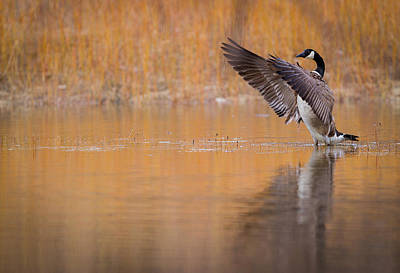 Canada Goose Stretches Its Wings Print by Chris Hurst