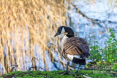 Photograph - Canada Goose by Susan Cole Kelly