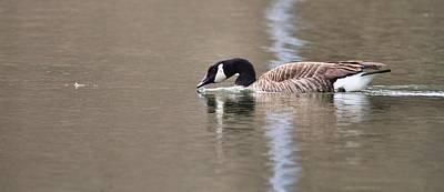 Canada Goose Swimming Art Print by Dan Sproul