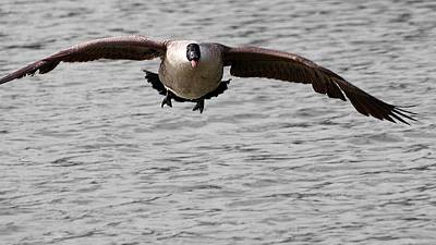 Photograph - Canada Goose Takeoff by Jeremy Hayden