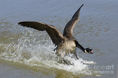 Canada Goose Touchdown Art Print by Bob Christopher