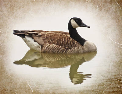 Photograph - Canada Goose - Vintage Style by Shawna Rowe