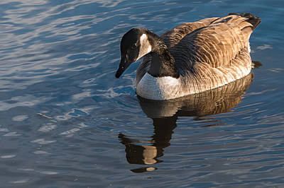 Photograph - Canada Goose Winter Swim by Edward Peterson