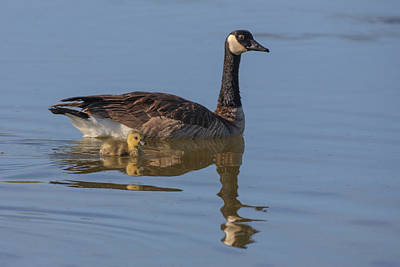 Branta Photograph - Canada Goose With Chick by Tom Norring