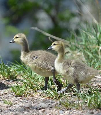 Photograph - Canada Goslings by Rae Ann  M Garrett