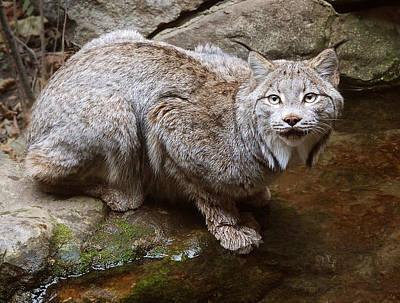 Lynxes Photograph - Canada Lynx by Jim Hughes