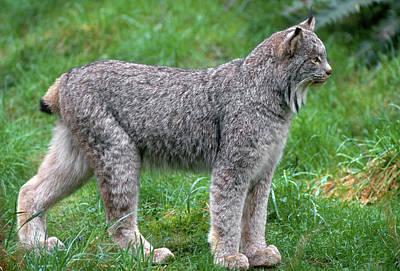Lynxes Photograph - Canada Lynx (lynx Canadensis by John Barger