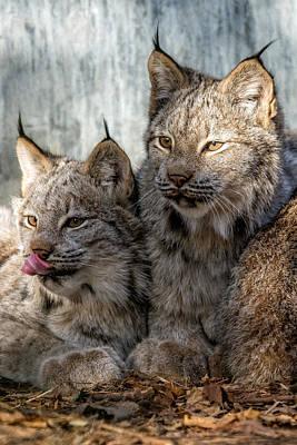 Photograph - Canada Lynx by Michael Hubley