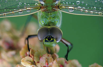 Green Darner Dragonflies Photograph - Canada, Ontario, Close-up Of Green by Jaynes Gallery