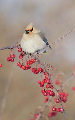 Quebec Photograph - Canada, Quebec Bohemian Waxwing Bird by Jaynes Gallery