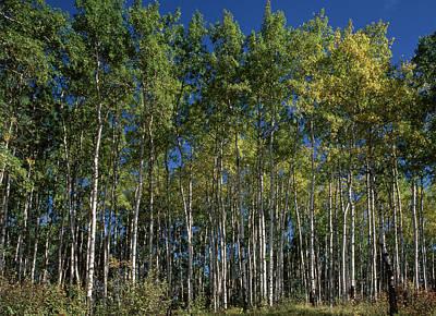 Prince Albert National Park Photograph - Canada, Saskatchewan, Aspen Forest by Jaynes Gallery