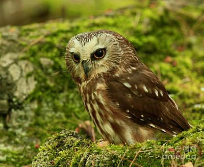 Canada's Smallest Owl - Saw Whet Owl Art Print