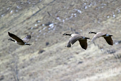 Canadian Geese Photograph - Canadian Flight by Mike  Dawson