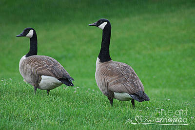 Photograph - Canadian Geese 20120515_5a by Tina Hopkins