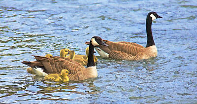 Canadian Geese And Goslings Blue Waters Art Print