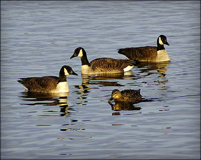 Appleton Photograph - Canadian Geese At Sunset by Carol Toepke