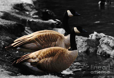 Mixed Media - Canadian Geese by Chalet Roome-Rigdon