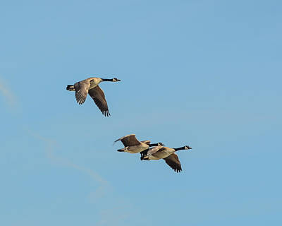 Photograph - Canada Geese by Dakota Light Photography By Dakota