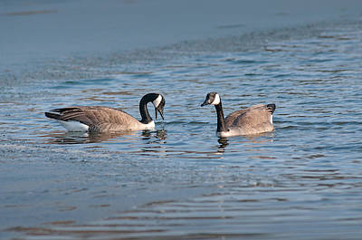 Photograph - Canadian Geese by Don Wolf