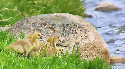 Photograph - Canadian Geese Goslings by Jennie Marie Schell
