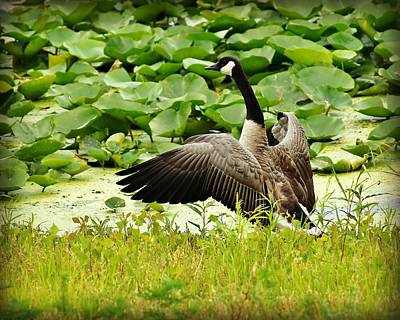 Appleton Photograph - Canadian Goose by Carol Toepke