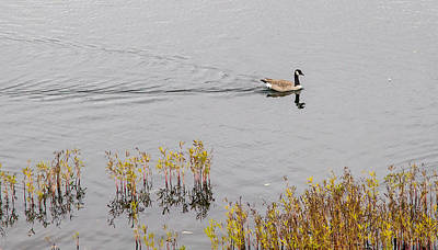 Photograph - Canadian Goose by Deb Buchanan