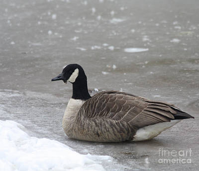 Snow Drifts Photograph - Canadian Goose In Winter Time In Manhassett Park by John Telfer