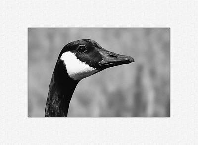 Photograph - Canadian Goose by Ron Roberts