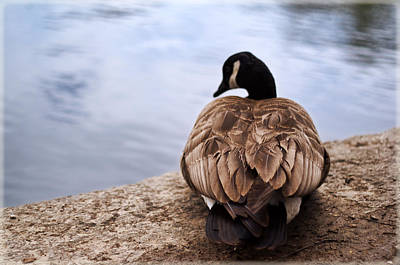 Photograph - Canadian Goose by Stephanie Hollingsworth