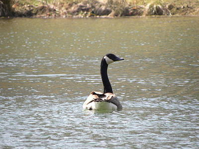 Photograph - Canadian Goose Swimming by Cim Paddock