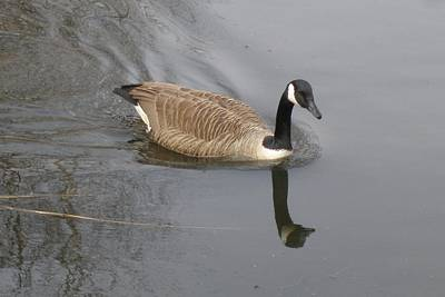 Photograph - Canadian Goose Swimming by Lucinda VanVleck