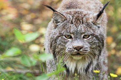 Canadian Lynx Photograph - Canadian Lynx  Lynx Canadensis  Walking by Robert Postma