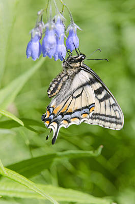 Animals Photos - Canadian Tiger Swallowtail Butterfly by Kenneth Whitten