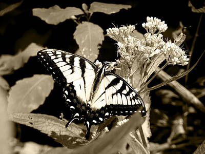 Canadian Tiger Swallowtail In Sepia Art Print