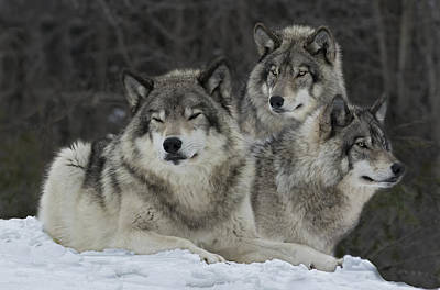 Wolf Photograph - Canadian Timber Wolves by Rudy Pohl