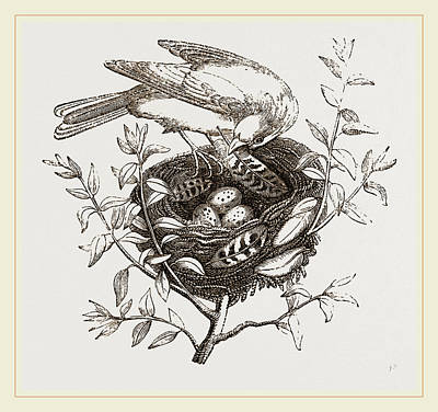 Canary Drawing - Canary Finch And Nest by Litz Collection