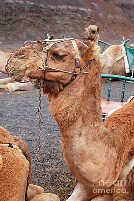 Dromedary Digital Art - Canary Island Camel by Eva Kaufman