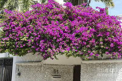 Photograph - Cancun Bougainvillea Mexico by John  Mitchell