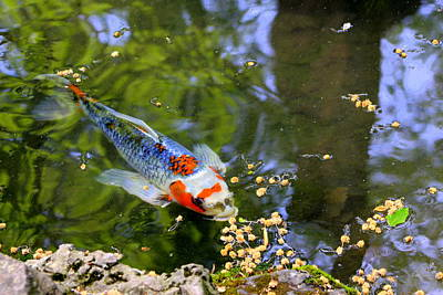 Photograph - Candid Koi by Deborah  Crew-Johnson