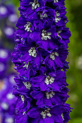 Photograph - Candle Delphinium by Randy Scherkenbach