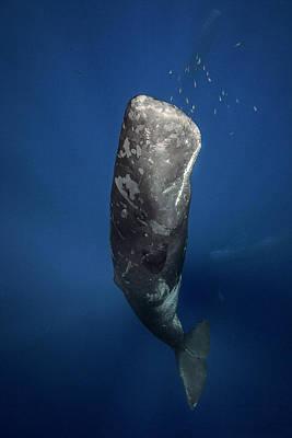 Underwater Diva Photograph - Candle Sperm Whale by Barathieu Gabriel