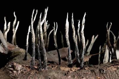 Candlesnuff Fungus (xylaria Hypoxylon) Art Print by Dr Jeremy Burgess