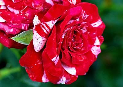 Candy Cane Rose Flower Art Print by Johnson Moya