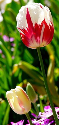 Photograph - Candy Cane Tulip by Jeff Lowe