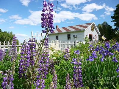 Photograph - Candy Colored Lupine by Barbara Bardzik