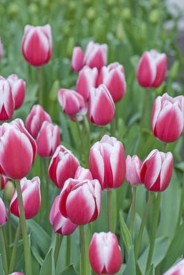 Photograph - Candy Stripe Tulips by Juli Scalzi