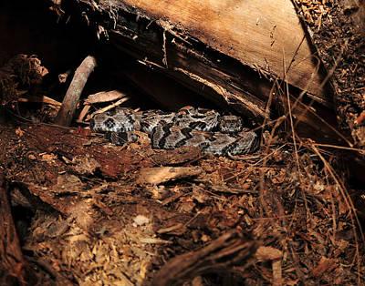 Canebrake Photograph - Canebrake Rattle Snakes by Eric Abernethy