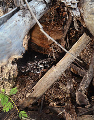 Canebrake Photograph - Canebrake Rattlesnakes by Eric Abernethy