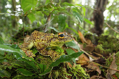 Elusive Photograph - Canelos Treefrog by Dr Morley Read