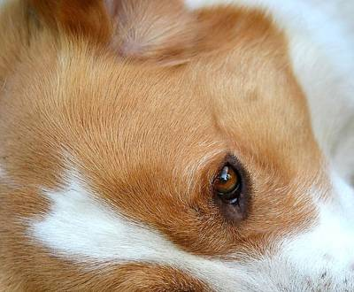 Photograph - Canine Eye by Deena Stoddard